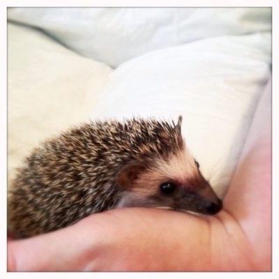 Hedgehog_Cafe_Japan HEdgehog1