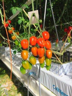 scotty brand tomato bunch