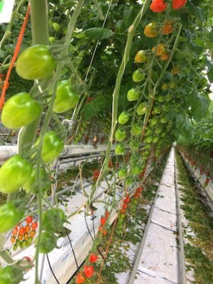 scotty brand tomatoes