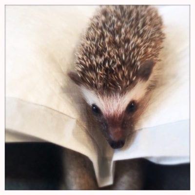 Hedgehog_Cafe_Japan_hedgehog