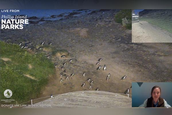 Philip island penguin parade