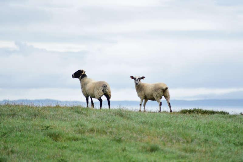 Away a wee walk - curious sheep